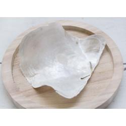 Piacuna Muschel gebogen, 8 - 12 cm